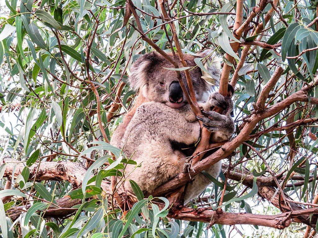 The Koalas of Raymond Island