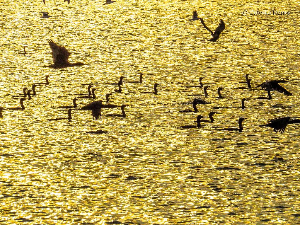 Birds by Raymond Island at sunset