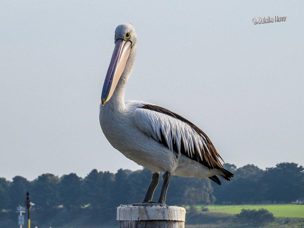 55-Zuleika-Henry-Fauna.jpg